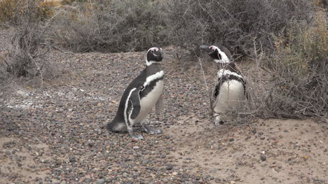 Argentina-A-Pair-Of-Penguins