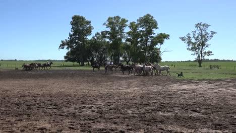 Argentina-Estancia-Horses-Running