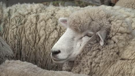 Argentina-Face-Of-A-Woolly-Sheep