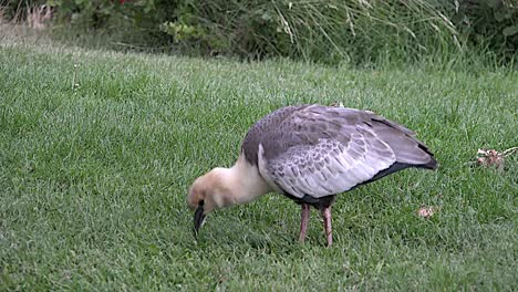 Argentina-Ibis-In-Grass