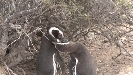 Argentina-Pair-Of-Penguins-Groom-Each-Other