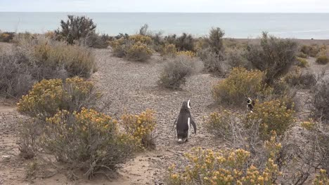Argentina-Penguin-By-Shrubs