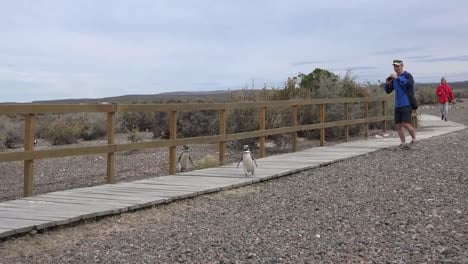 Argentina-Penguin-Crosses-Boardwalk-In-Front-Of-Tourists