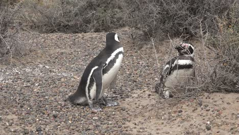 Argentina-Penguin-Inspects-Burrow