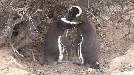 Argentina-Penguin-Mates-Groom-Each-Other