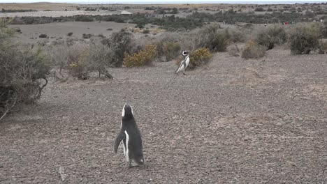 Argentina-Penguins-In-A-Punta-Tombo-Landscape