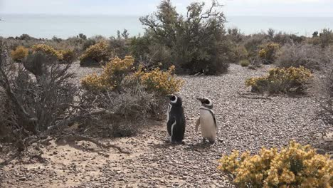Argentina-Penguins-On-Pebbles-By-Shrubs