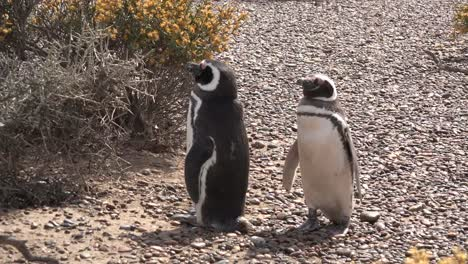 Argentina-Two-Cute-Penguins