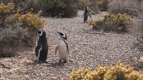 Argentina-Two-Penguins-Stand-And-Another-Walks-Away