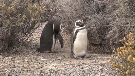Argentina-Two-Penguins-Standing-Around