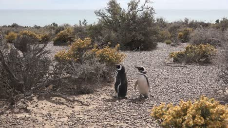 Argentina-Two-Penguins-Waiting-Around