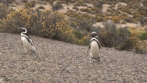 Argentina-Two-Penguins-Walking