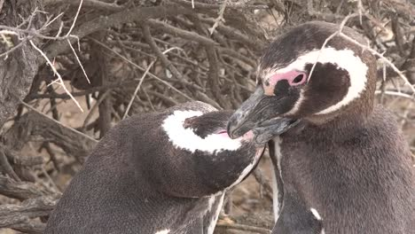 Argentina-Zooms-In-To-Penguin-Pair-Grooming-Each-Other