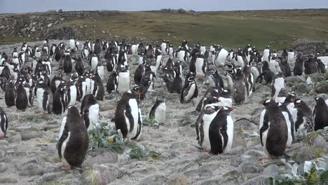 Falklands-Gentoo-Penguins-Clustered