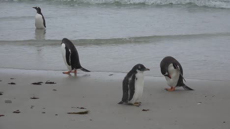 Falklands-Gentoo-Baby-With-Adults-On-Beach
