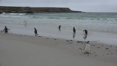 Falklands-Gentoo-Penguin-Runs-Down-Beach