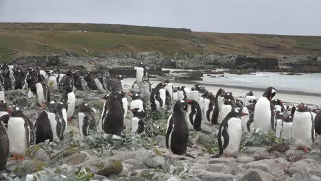 Falklands-Gentoo-Penguins-And-Beach