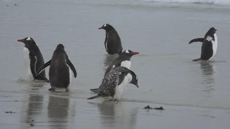Falklands-Gentoo-Penguins-Drink-Sea-Water