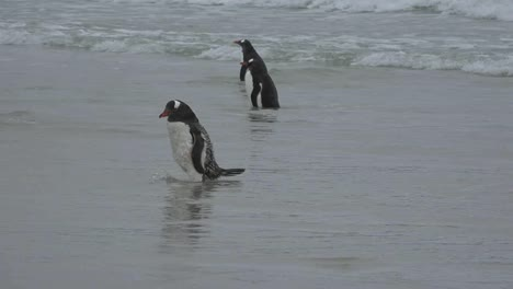 Falklands-Gentoo-Penguins-In-Sea
