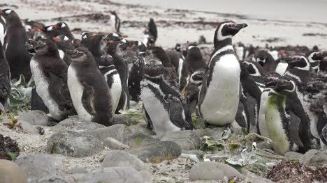 Malvinas-Pingüinos-Gentoo-De-Pie-Alrededor