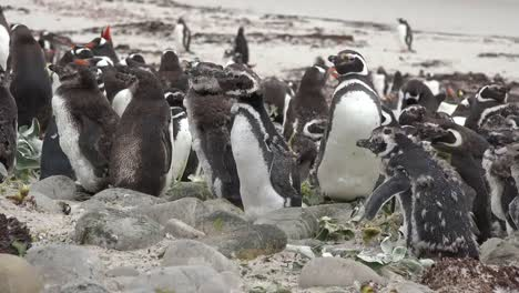 Falklands-Baby-Penguin-Moves-Forward