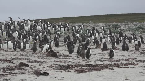 Falklands-Big-Flock-Of-Gentoo-Penguins