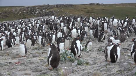 Falklands-Crowd-Of-Gentoo-Penguins