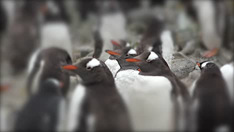 Falklands-Focus-On-Penguin-Beak