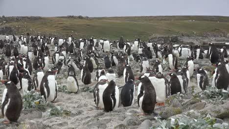 Bandada-De-Pingüinos-De-Las-Malvinas-Con-Colina-Más-Allá