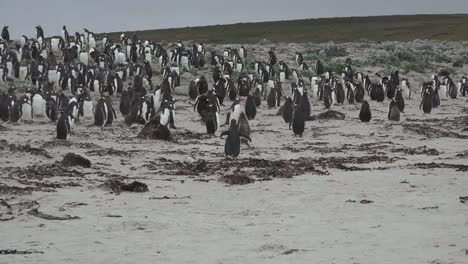Falklands-Penguin-Runs-To-Group