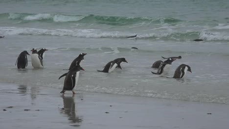 Falklands-Penguin-Walks-To-Sea-And-Drinks