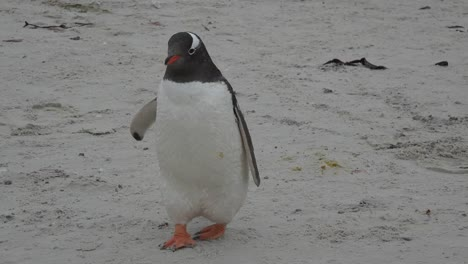 Falklands-Penguin-Zoom-To-Walking-Feet