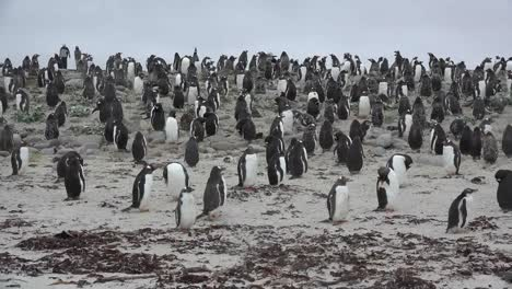 Falklands-Penguins-Cluster-On-Mound-Of-Sand