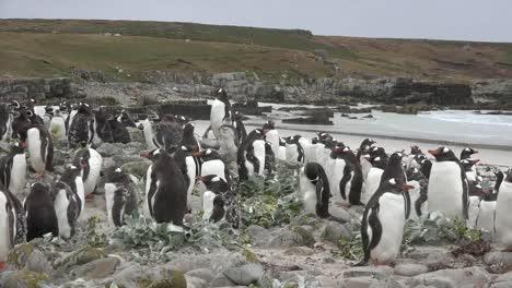 Pingüinos-De-Las-Malvinas-Agrupados-Sobre-La-Playa