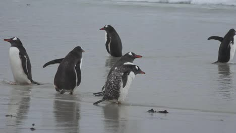 Falklands-Penguins-On-Beach-And-In-Water