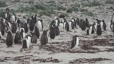Pingüinos-De-Las-Malvinas-En-La-Arena