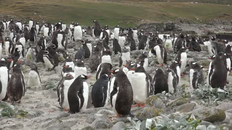 Falklands-Penguins-Standing-Around