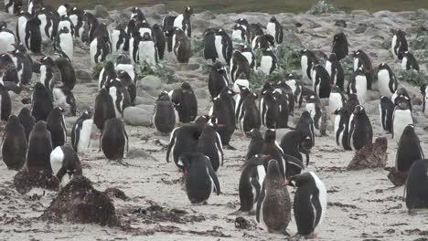 Falklands-Zooms-In-On-Gentoo-Penguins