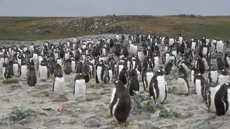 Malvinas-Se-Acerca-A-Un-Grupo-De-Pingüinos