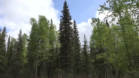 Alaska-Black-Spruce-And-Moving-Clouds-Time-Lapse