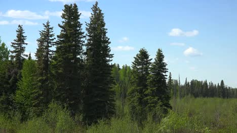 Alaska-Conifers-In-A-Forest-Edge