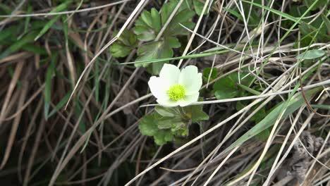 Alaska-White-Flower-In-Grass