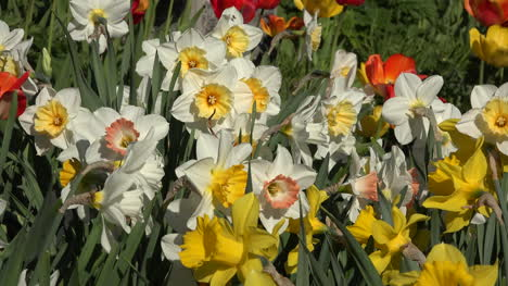 Flowers-Daffodils-White-And-Yellow-Blooms