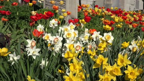 Flowers-Daffodils-Zoom-In