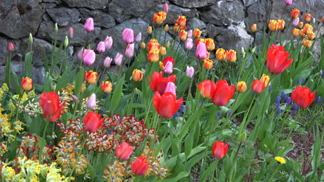 Flowers-Tulips-Pink-Orange-Red
