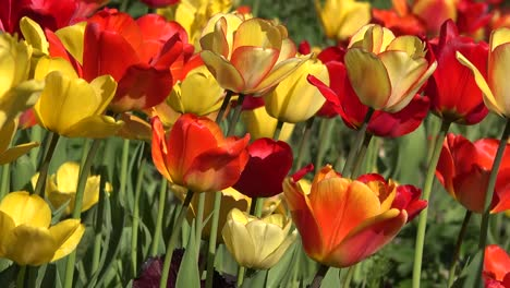 Flowers-Yellow-And-Red-Tulips-Pan
