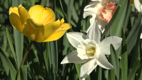 Flowers-Yellow-Tulip-And-White-Daffodil