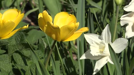 Flowers-Zoom-To-White-Daffodil