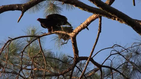 Georgia-Okefenokee-A-Vulture-Flies-From-A-Pine-Tree