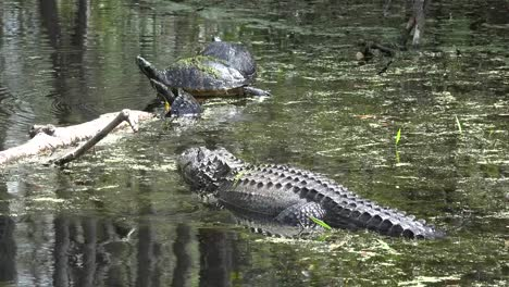 Georgia-Okefenokee-Alligator-And-Turtles
